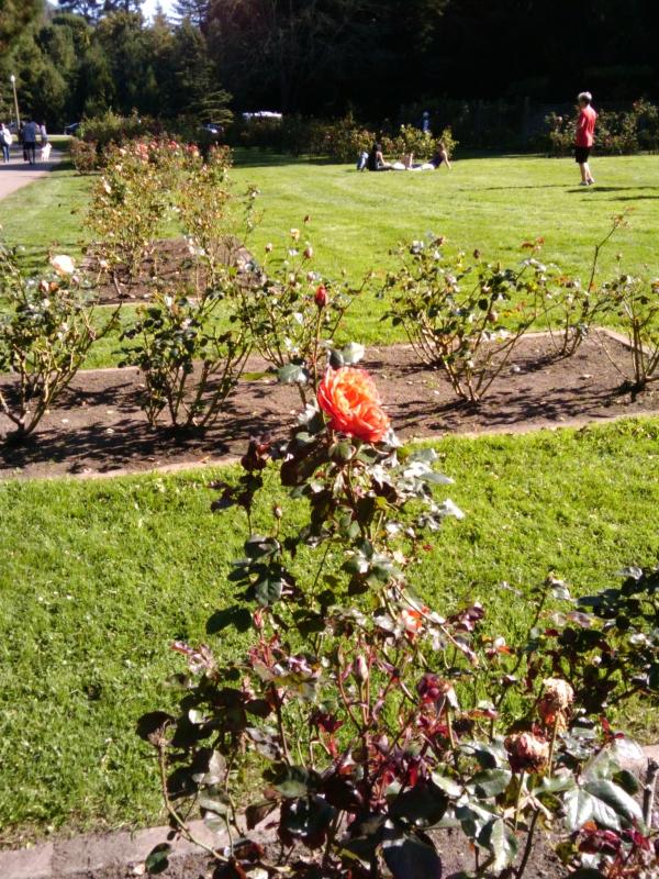 roses-scaled.jpg