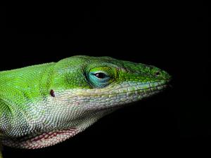teiid-lizard.jpg